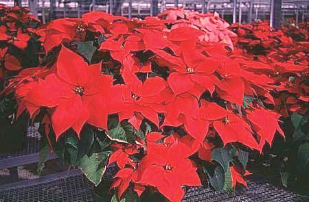 Poinsettias, shown here, are a common site during the holidays.
