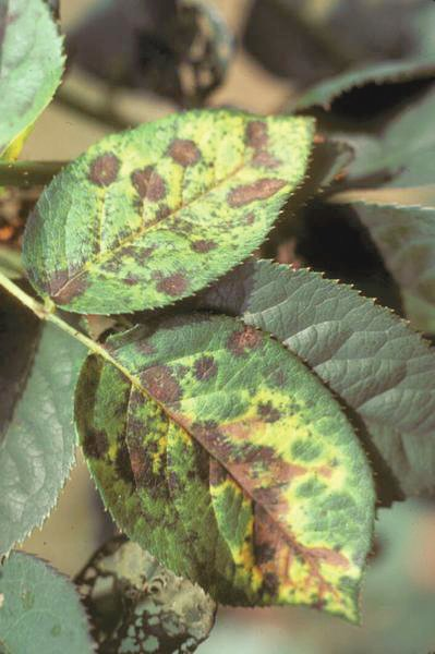 Blackspot can be a common disease on roses to be on the outlook for in May.
