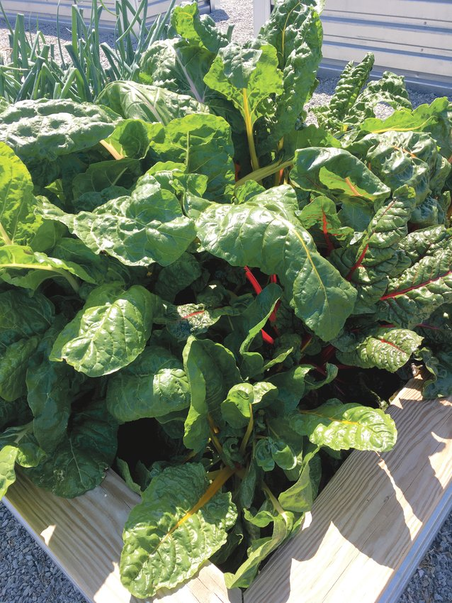 Cool season vegetables are seen here in a raised bed.