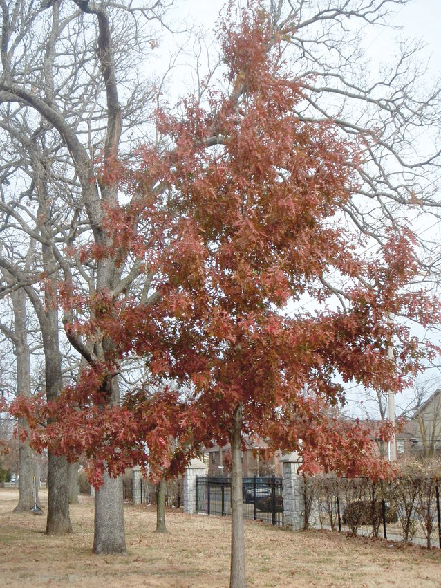 A nuttall oak is seen here in fall color.