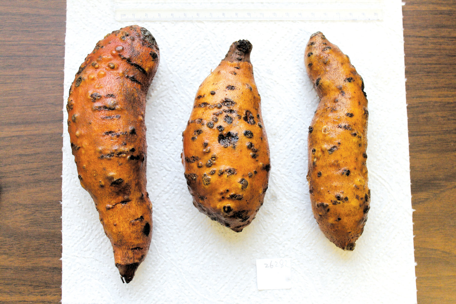 The North Carolina Department of Agriculture and Consumer Services has declared an internal quarantine on sweet potatoes due to the plant possibly being infected with the guava root knot nematode. The sweet potatoes seen here are in the advanced stages of being infected with the nematode that is spread through roots and soil. The quarantine does not affect fresh market sweet potatoes.
