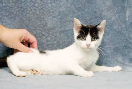 Oliver is a domestic shorthair/mix male cat, age 3 months, available for adoption.