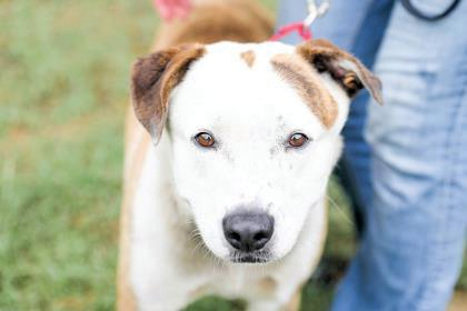 Meatball is a Terrier, American Pit Bull/Mix, male dog, age 3 years, that is available for adoption at the Harnett County Animal Shelter.