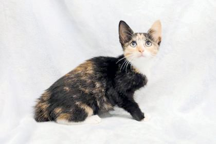 Kitty is a domestic, short-hair mix female kitten, age 3 months, that is available for adoption at the Harnett County Animal Shelter.