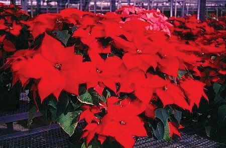 Poinsettias in full color. Poinsettias are a common site during the holidays.