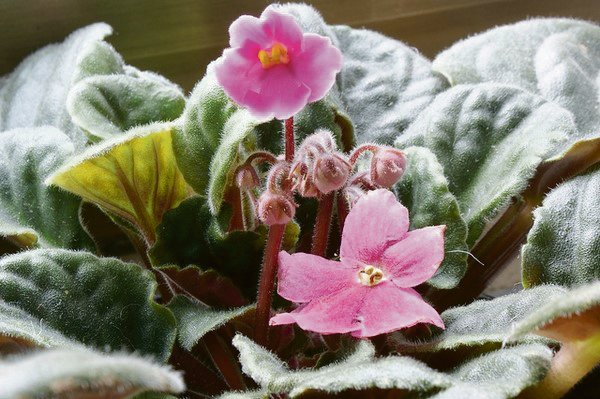 African violets (Streptocarpus) is a house plant popular for its beautiful flowers.