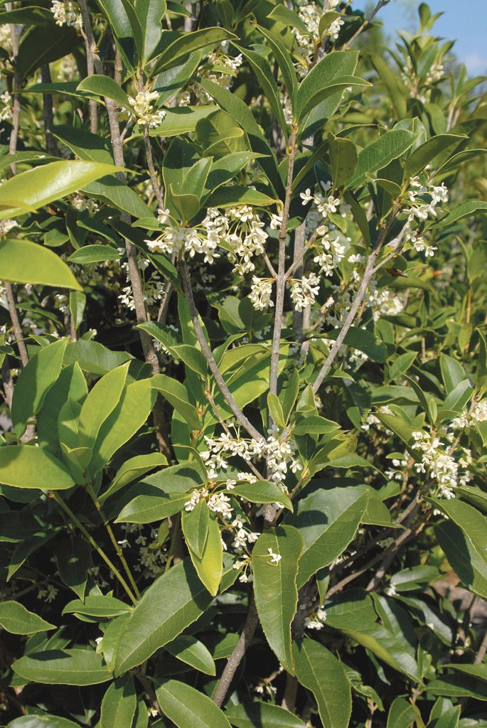 Fragrant Tea Olive (Osmanthus fragrans), pictured here, is the most fragrant of all the tea olives.