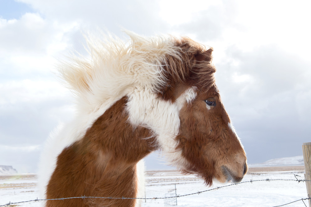 An Icelandic horse with a full winter coat is buffeted by strong winds in the pasture.