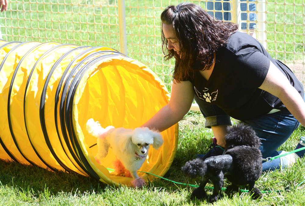 Pam Gentry coaxes her toy poodles, Zuri and Darci through the tunnel on the agility course provided by Thunderhawk Canine at this year's Dogapalooza.