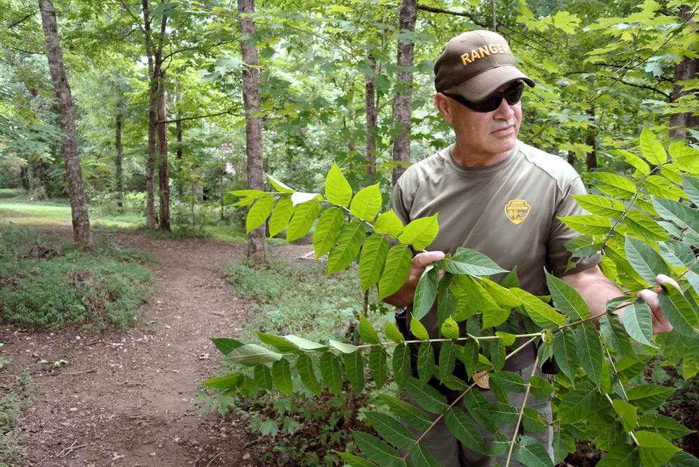 Cummins Falls Park Manager Ray Cutcher looks at the exotic invasive plant Ailanthus. He's hoping enough volunteers show up for Tennessee Promise Saturday on July 23 to remove some of them from the park's trails.