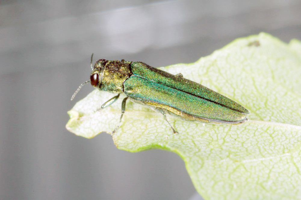 The emerald ash borer is small but can do big damage to ash trees.