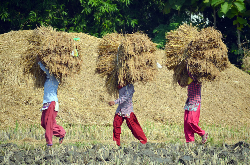 Three women carrying rice during the rice harvest in a rural village in Bardiya.