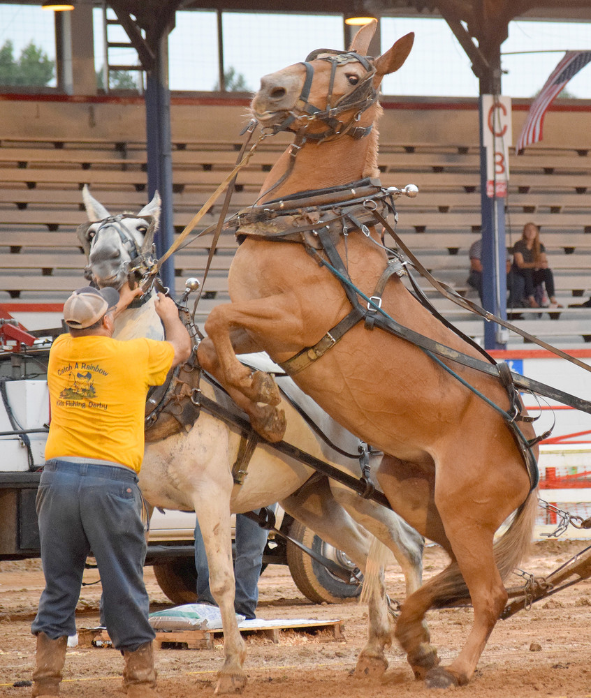 A competitor in Monday night's mule pull at the county fair tries to calm a nervous animal.