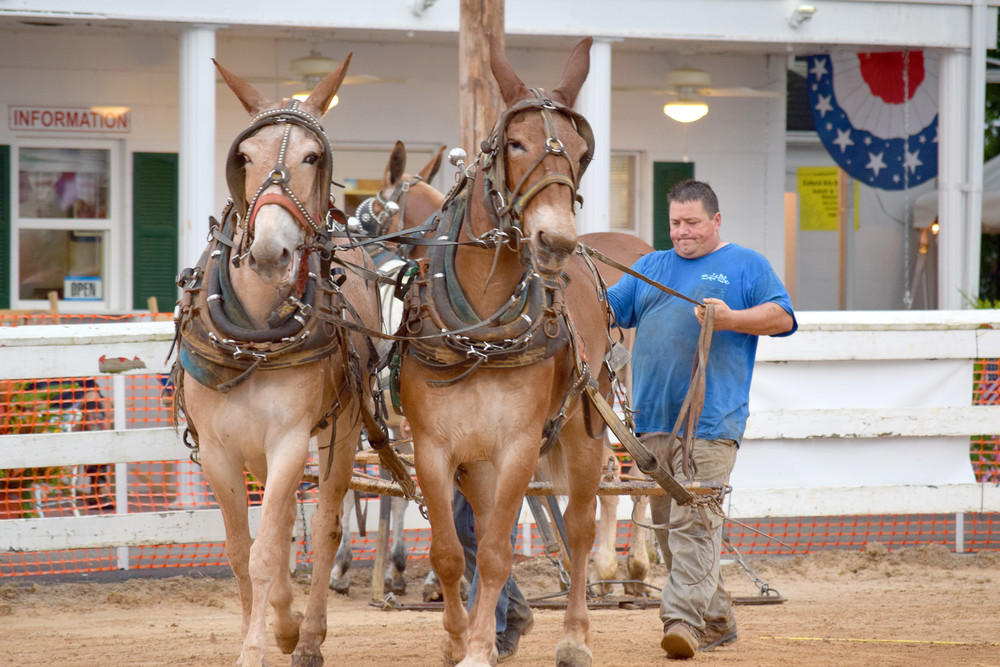 A competitor directs one of his mule teams into the area.