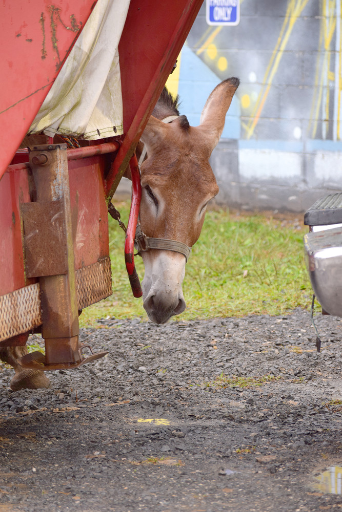 A mule peeks shyly from around a trailer.