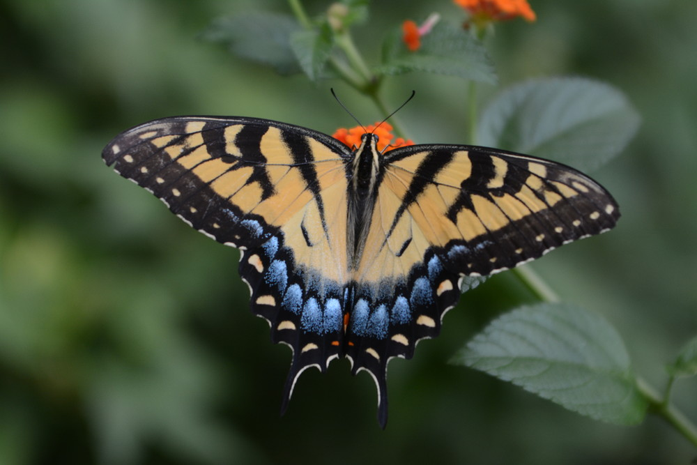 Many of the flowers Master Gardener Gloria Vick grows attract butterflies and hummingbirds.
