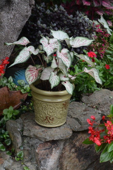 Not every plant has to be planted in the ground. Plants like this caladium do quite well in pots like this one in Gloria Vick's garden.