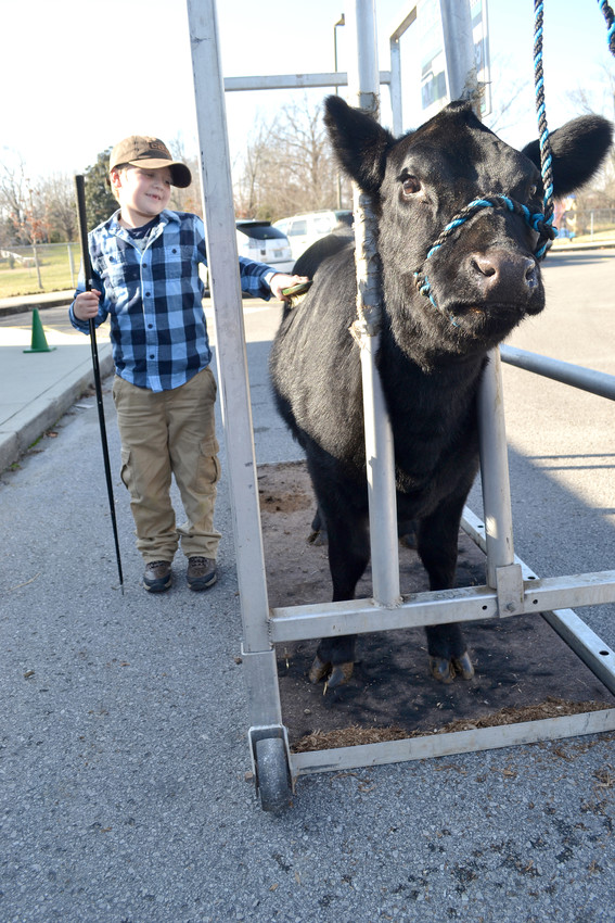 Capshaw kindergartner Ezra Tays brushes a midget heifer that his grandfather, Clarence, brought to the school Monday. The kindergarten classes are learning about farming and animal science this week.