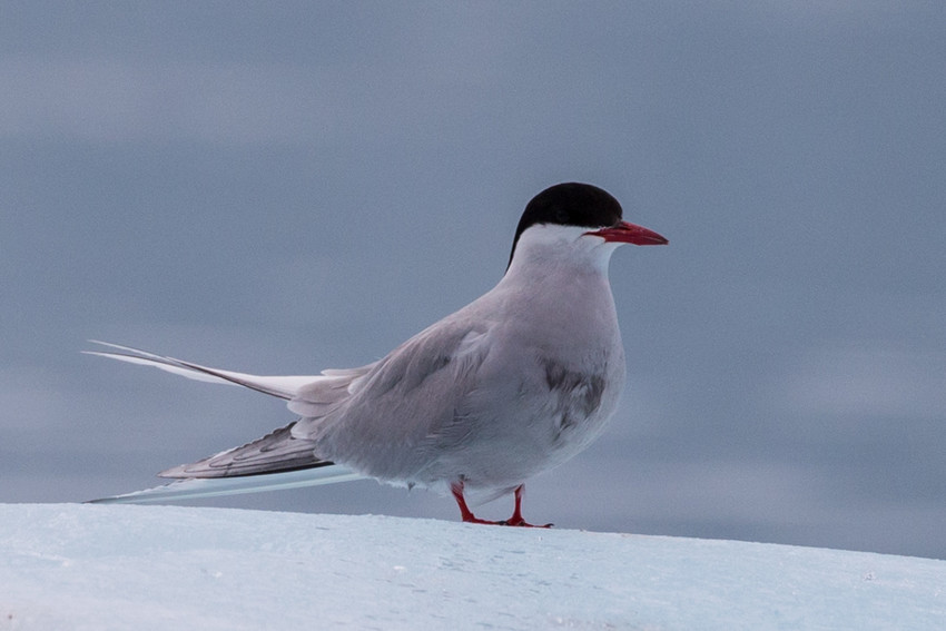 The Arctic tern is one of hundreds of species of birds which call Svalbard home.