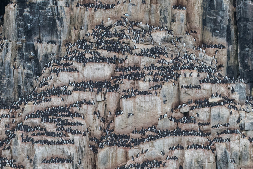 Thousands of penguins inhabit the Guillemont colony.
