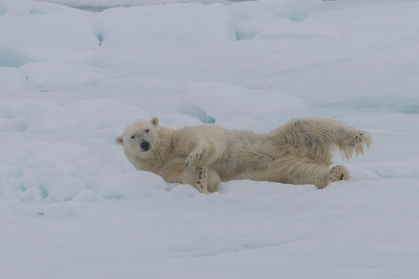 A polar bear lounges on the ice.