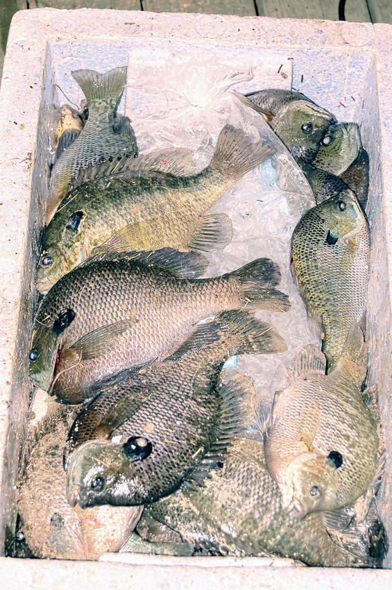 "Ninety-minutes of ""work"" gave us a cooler full of 35-bream to fillet. They came from my ""spot"" at White Oak Plantation. Yes, I do book a few guide trips and they aint cheap."