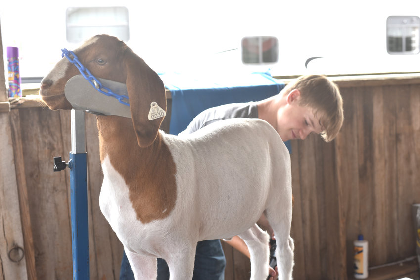 Clay Orman blow drying a goat, Tex, before the goat show at the Putnam County Fair on Saturday.